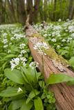 Wild Garlic - Ramsons (Allium Ursinum) Flowering in Woodland  Cornwall  England  UK  May