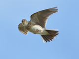 Male Skylark (Alauda Arvensis) in Flight  Singing  Denmark Farm  Lampeter  Ceredigion  Wales  UK