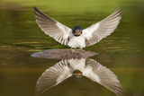 Barn Swallow (Hirundo Rustica) Alighting at Pond  Collecting Material for Nest Building  UK