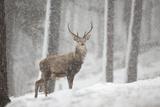 Red Deer (Cervus Elaphus) in Heavy Snowfall, Cairngorms National Park, Scotland, March 2012 Papier Photo par Peter Cairns