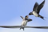 Barn Swallow (Hirundo Rustica) Feeding a Fledgling on a Wire Perthshire  Scotland  September