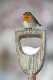 Adult Robin (Erithacus Rubecula) Perched on Spade Handle in the Snow in Winter  Scotland  UK