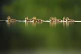 A Line of Mallard (Anas Platyrhynchos) Ducklings Swimming on a Still Lake  Derbyshire  England  UK