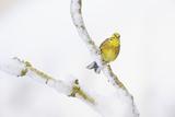 Yellowhammer (Emberiza Citrinella) Perched on Snowy Branch Perthshire  Scotland  UK  February