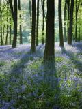 A Carpet of Bluebells (Endymion Nonscriptus) in Beech (Fagus Sylvatica) Woodland  Hampshire  UK