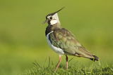 Lapwing (Vanellus Vanellus) Adult in Breeding Plumage  Scotland  UK  June