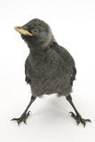 Baby Jackdaw (Corvus Monedula) with Feet Wide Apart