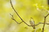 Wood Warbler (Phylloscopus Sibilatrix) Singing from Oak  Atlantic Oakwoods of Sunart  Scotland