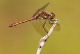 Male Common Darter Dragonfly (Sympetrum Striolatum) Resting on the End of a Twig  Dorset Uk