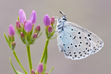 Large Blue Butterfly (Maculinea Arion) on a Common Centaury Flower  Somerset  England  UK