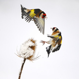 Goldfinches (Carduelis Carduelis) Squabbling over Teasel Seeds in Winter Cambridgeshire  UK