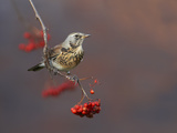 Fieldfare (Turdus Pilaris) Perched on Branch of a Rowan Tree (Sorbus Aucuparia) with Berries  UK