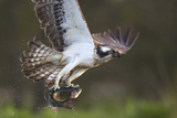 Osprey (Pandion Haliaetus) with Fish Prey  Cairngorms National Park  Scotland  UK  May