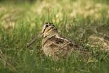 Woodcock (Scolopax Rusticola) Adult in Spring  Scotland  UK  April