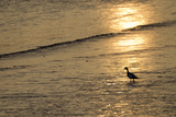 Sunrise over Coastal Mudflats with Shelduck Feeding  Campfield Marsh  Solway Firth  Cumbria  UK