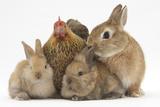 Partridge Pekin Bantam with Sandy Netherland Dwarf-Cross Rabbit  and Baby Lionhead Cross Rabbits
