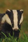Portrait of an Adult Badger (Meles Meles)  Derbyshire  UK