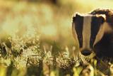 Badger (Meles Meles) Sub-Adult Backlit in Evening Light  Derbyshire  UK