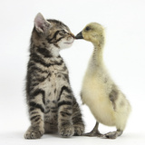 Cute Tabby Kitten  Fosset  9 Weeks  Nose to Beak with Yellow Gosling
