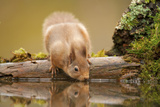 Red Squirrel (Sciurus Vulgaris) Drinking from Woodland Pool  Scotland  UK  November