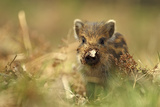 Wild Boar Piglet with Leaf Stuck on its Nose  Forest of Dean  Gloucestershire  England  UK