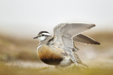 Adult Eurasian Dotterel (Charadrius Morinellus) with Wings Partially Raised  Cairngorms Np  UK