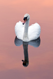 Mute Swan (Cygnus Olor) on Water with Reflection  Shapwick Heath Nr  Somerset Levels  Somerset  UK