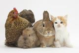 Partridge Pekin Bantam with Kitten  Sandy Netherland Dwarf-Cross and Baby Lionhead-Cross Rabbit