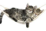 Two Cute Tabby Kittens  Stanley and Fosset  7 Weeks  Sleeping in a Hammock
