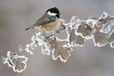 Coal Tit (Periparus Ater) Adult Perched in Winter  Scotland  UK  December