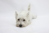 West Highland White Terrier Lying Stretched Out with Her Chin on the Floor