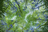 Looking Up Through Carpet of Bluebells (Endymion Nonscriptus) to Beech (Fagus Sylvatica) Canopy  UK