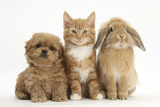Peekapoo (Pekingese X Poodle) Puppy, Ginger Kitten and Sandy Lop Rabbit, Sitting Together Papier Photo par Mark Taylor
