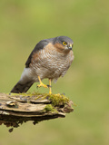 Sparrowhawk (Accipiter Nisus) Adult Male Scotland  UK  February