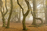 Beech Tree Trunks in Autumn Mist  Beacon Hill Country Park  the National Forest  Leicestershire  UK