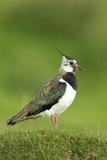 Lapwing (Vanellus Vanellus) Adult in Breeding Plumage  Scotland  UK  June