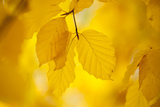 European Beech Tree {Fagus Sylvatica} Yellow Leaves in Autumn  Sence Valley  Leicestershire  UK
