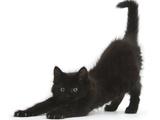 Fluffy Black Kitten  9 Weeks  Stretching
