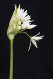 Wild Garlic - Ramsons (Allium Ursinum) in Flower  Controlled Conditions  Cornwall  England  UK