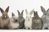 Six Baby Rabbits in Line Papier Photo par Mark Taylor