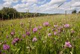 Red Clover {Trifolium Pratense} Flowering in Hay Meadow at Denmark Farm  Lampeter  Wales  UK June