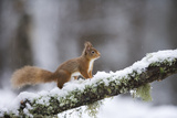Red Squirrel (Sciurus Vulgaris) on Branch in Snow  Glenfeshie  Cairngorms National Park  Scotland