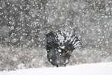 Capercaillie (Tetrao Urogallus) Male Displaying in Heavy Snowfall  Cairngorms Np  Scotland