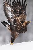Golden Eagle (Aquila Chrysaetos) Taking Off  Flatanger  Norway  November 2008