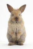 Baby Lionhead Cross Lop Rabbit  Standing