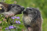 Alpine Marmots (Marmota Marmota) Feeding on Flowers  Hohe Tauern National Park  Austria