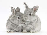 Two Baby Silver Rabbits Papier Photo par Mark Taylor