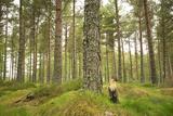 Pine Marten (Martes Martes) Adult Female in Caledonian Forest  the Black Isle  Scotland  UK