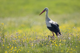 White Stork (Ciconia Ciconia) in Flower Meadow  Labanoras Regional Park  Lithuania  May 2009