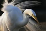 Great Egret (Ardea Alba) Pusztaszer  Hungary  May